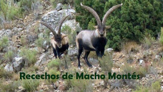 Recechos de Macho Montés, ¿Cuál elegir y a qué precio?